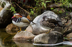 Duck. Duck is the representative birds of several genera of the family duck: Shelduck, sea ducks (Pochards), white-headed ducks, river ducks, ducks, ships stock photography