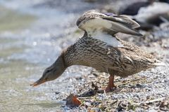 Duck rest on lake. Cute duck rest on lake Stock Image