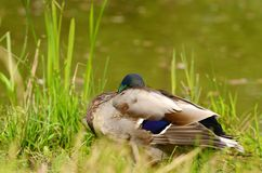 Duck rest near the lake Stock Photography