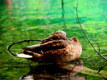 Duck at rest Royalty Free Stock Photos