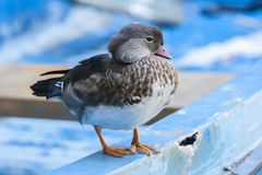 Duck resting on a blue row boat. Stock Images