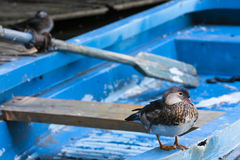 Duck resting on a blue row boat. Royalty Free Stock Photo