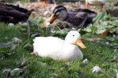 Duck resting in Brugge Stock Photography