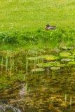Duck resting in a lake in Botanic Garden. Dublin, Ireland stock photos
