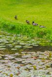 Duck resting in a lake in Botanic Garden. Dublin, Ireland stock images