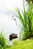 Duck resting in a park Royalty Free Stock Photography