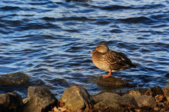 Duck Resting On A Rock Stock Photo