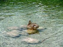 Duck. Resting on stone. Photo was taken at the lake Bohinj in Slovenia. Water is a beautiful green color Stock Photo