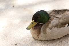 Duck resting in summer. Next to a pond Royalty Free Stock Images