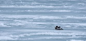 A duck rests on the frozen waters of Lake Michigan. A duck rests on frozen waves. Even in March, the waters of Lake Michigan are frozen enough for fowl to rest royalty free stock photos