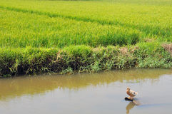 Duck in the rice paddy. A duck stands guard in an irrigation canal with a rice paddy in the background (backwaters,Kerala,India Royalty Free Stock Images