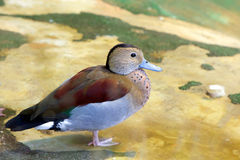 Duck Ringed Teal Royalty Free Stock Image