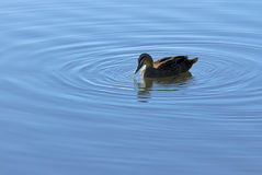 Duck and ripples in pond. In Western Australia Stock Photos