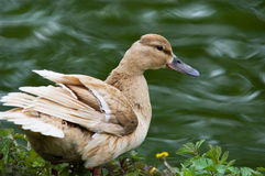 Duck by the river. Duck looking at the river stock photography