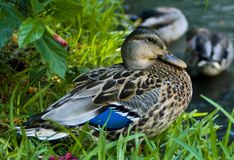 Duck on the river bank. A female mallard duck resting on a grassy river bank with other ducks in the background Royalty Free Stock Image