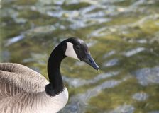 Duck on a River bank. A common Canada goose standing on the bank of a river Royalty Free Stock Image