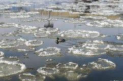 Duck in river between big frozen piece of ice Stock Image