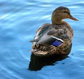 Duck on the River stock photography