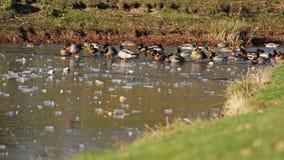 Duck River eiskalt stock video footage