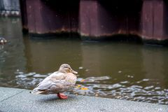 Amsterdam duck in the street. Duck on the river embankment in spring. Selective focus Royalty Free Stock Images