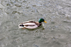 Duck in river Stock Photo