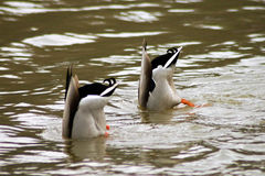 Duck. In river Moldau in Prague Royalty Free Stock Photography