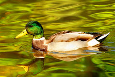 Duck on the river in Poland Royalty Free Stock Photos
