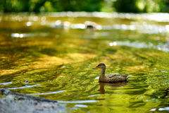 A duck in a river at summer Stock Photography