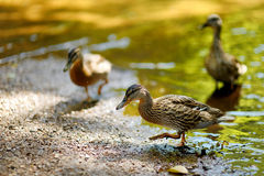 A duck in a river at summer Stock Photo