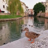 Duck by river in Treviso Italy stock images
