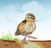 Duck on the road. Summer heat duckling lost and one goes on the road vector illustration