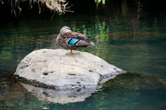 Duck on the Rock Royalty Free Stock Photos
