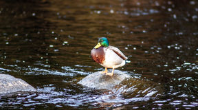 Duck on a rock. In the evening sunlight Stock Photography