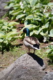 Duck On The Rock. Male Mallard duck on top of a rock lakeside Stock Photo