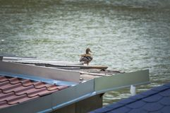 Duck on roof of house. The gray beautiful duck standing on roof. Behind it is the sky background is beautiful. Bird animal outdoor wildlife nature feather beak royalty free stock image