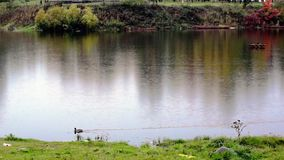 Duck in a row on autumn river in rain stock video footage