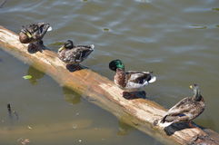 Duck in A Row Stock Image