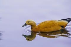Duck ruddy Shelduck. In the Park Kuzminki royalty free stock photos