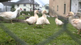Duck run and search for food stock video footage