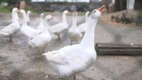 Duck run and search for food stock footage