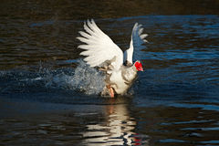 Duck running on water. A running Muscovy Duck causes water to splash all over the place stock image