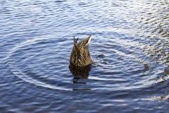 The duck dips stock photos