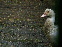 Duck& x27; s特写 库存照片