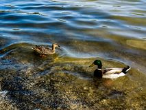 Duck& x27;s border line. Ducks in a lake with the colours og the water acting as a borderline Stock Images