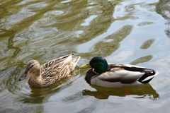 Duck`s couple spring flirt royalty free stock image