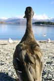 A duck's eye view. A duck looking out over Lake Wanaka, New Zealand Royalty Free Stock Photos