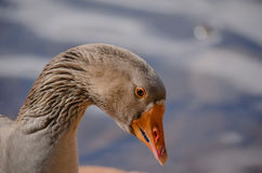 Duck's face Stock Images