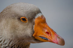 Duck's face. A close-up shot of a duck's face Stock Photos