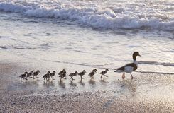 Duck's family Royalty Free Stock Photos