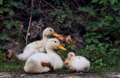 Duck`s family on the walk. little duckling. Crossing the road royalty free stock photo